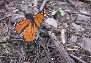 Monarch butterfly migration under threat