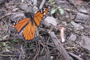 Monarch butterfly migration under threat