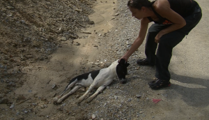 Gill Dalley sterilizing a dog